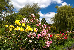 Картинки Альбион Сады Розы Кусты Swansea Botanic Gardens Wales Природа