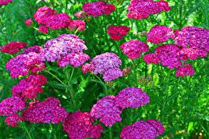 Картинка Вербена Вблизи Розовый Цветы