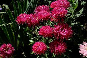 Фото Астры Вблизи Бордовый Цветы