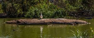 Обои Австралия Парки Пруд Птицы Пеликаны Mount Lofty Botanic Garden Природа