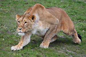 Фото Большие кошки Львы Львица Взгляд