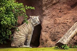 Обои Большие кошки Тигры