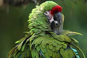 Фотографии Птицы Попугаи Клюв Зеленый