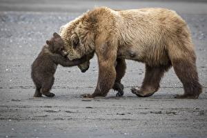 Картинка Медведи Бурые Медведи Детеныши Объятие Милые