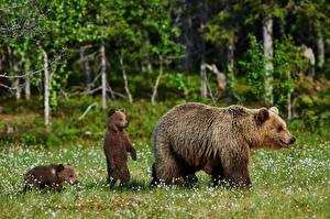 Фото Медведь Бурые Медведи Детеныши Втроем Трава Животные