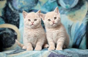 Фото Коты 2 Котята Смотрит British Shorthair Животные