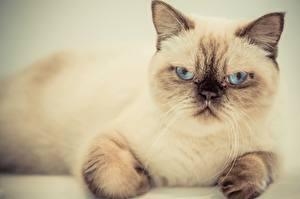 Фотографии Коты Недовольство Смотрят животное