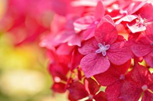 Обои Крупным планом Гортензия Красный Цветы