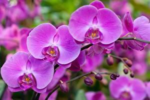 Картинки Крупным планом Орхидеи Розовый Цветы