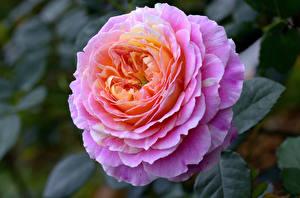 Обои Крупным планом Розы Цветы