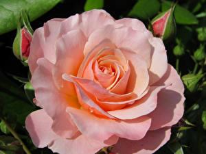 Обои Крупным планом Розы Розовый Цветы картинки