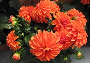 Фотографии Георгины Крупным планом Оранжевый Бутон Цветы