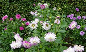 Картинки Георгины Бутон цветок
