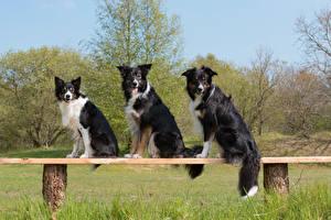 Картинки Собаки Бордер-колли Скамейка Втроем Взгляд Животные
