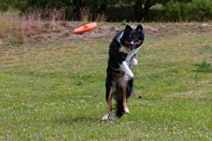 Фото Собаки Бордер-колли Прыжок Трава Смотрит