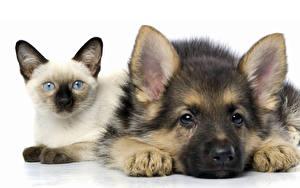 Фото Собака Кошки Белый фон Двое Овчарки Животные