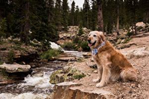 Фотографии Собаки Леса Золотистый ретривер Ретривер Ручей Животные
