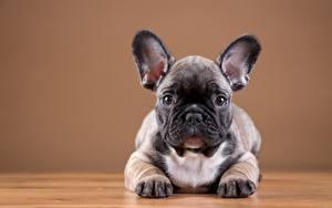 Обои Собака Французский бульдог Щенка Лап Животные
