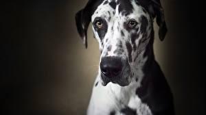 Картинка Собаки Взгляд Морды Немецкий дог Животные