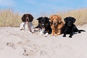 Фото Собаки Песка Спаниель Ретривер Лабрадор-ретривер животное