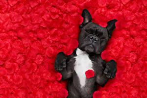 Картинка Собаки Лепестки Красный Бульдог Спит Животные