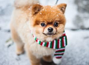 Фотография Собаки Шпиц Рыжий Шарф Смотрит Pomeranian Животные