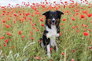 Фотография Собаки Маки Бордер-колли Взгляд Животные