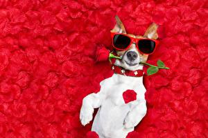 Картинка Собаки Розы Джек-рассел-терьер Очки Лепестки Забавные Животные