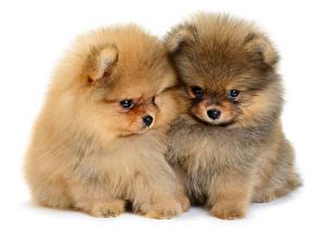 Картинки Собаки Белый фон Двое Щенок Шпиц Животные