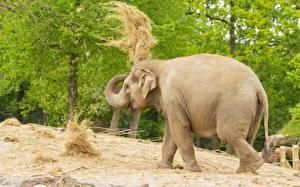 Фотография Слоны Сено Животные