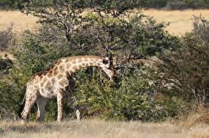Фотография Жирафы Кусты