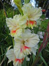 Обои Гладиолусы Крупным планом Цветы картинки