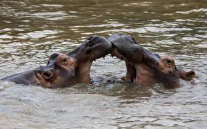 Картинки Бегемоты Вода 2 Злой Животные