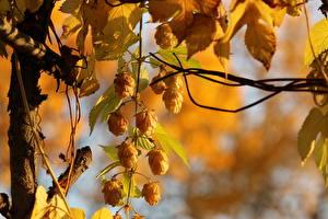 Обои Хмель Крупным планом Golden Hops Природа