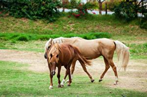 Фотографии Лошади Два Животные