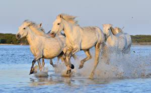 Фото Лошади Вода Белый Бег Брызги Втроем Животные