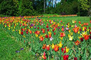 Обои Венгрия Будапешт Парки Тюльпаны Трава Botanical garden Природа