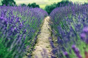 Фотографии Лаванда Поля Тропа Цветы