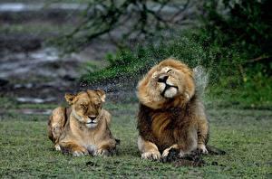 Фотография Львы Львица Брызги Животные