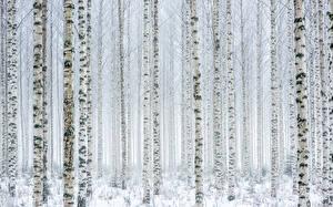 Картинки Много Береза Дерева Ствол дерева Снеге