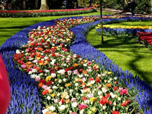 Картинка Голландия Парки Гиацинты Тюльпаны Газон Дизайна Keukenhof Природа