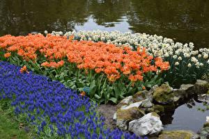 Фото Нидерланды Парки Тюльпаны Нарциссы Гиацинты Keukenhof Цветы