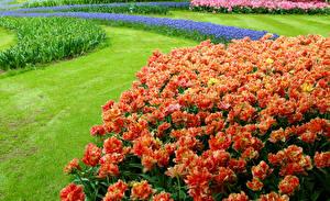 Фотография Нидерланды Парки Тюльпаны Газон Keukenhof