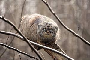 Фотография Палласов кот Ветки Животные