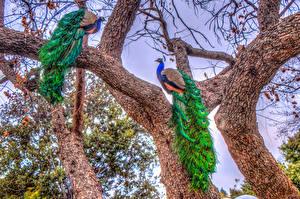 Фото Павлины Птицы HDRI 2 Ствол дерева Животные