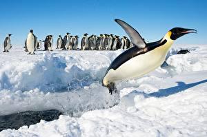 Обои Пингвины Снег Прыжок King penguin Животные