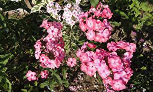 Фотография Флоксы Вблизи Розовый Цветы