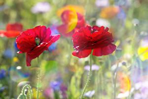 Фотография Маки Вблизи Двое Цветы
