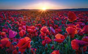 Фотографии Маки Поля Красный Лучи света Солнца Природа Цветы