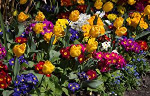 Картинка Первоцвет Тюльпаны Цветы